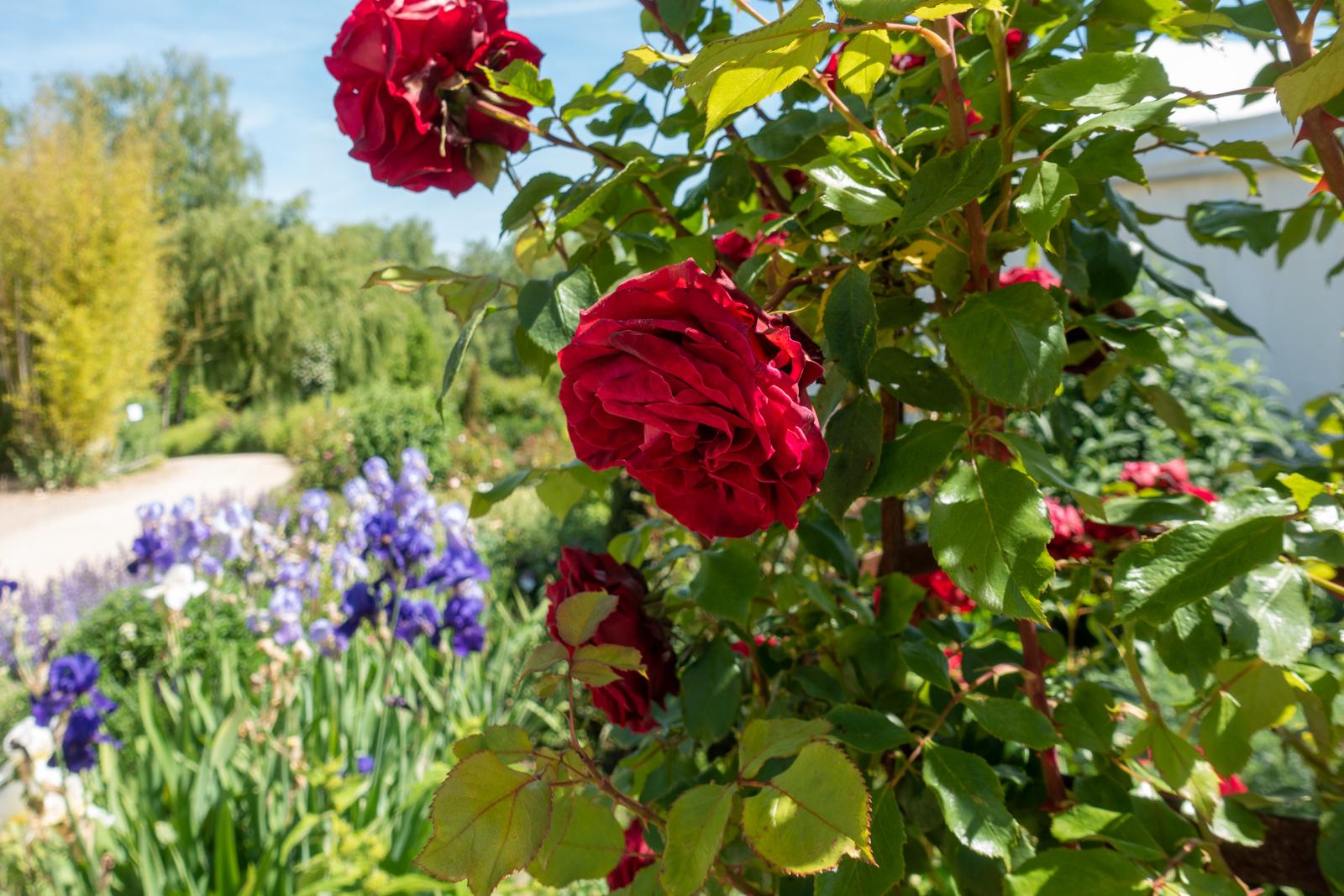 Rosen-Ausflüge durch die Ettenbühler Gärten im Okt